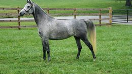 Grey Arabian in West Grove, PA