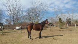 Bay Thoroughbred in Freeport, ME