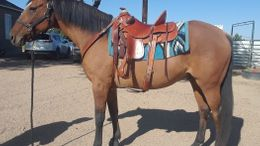 Dun Quarter Horse in Avondale, CO