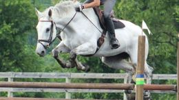 Grey Irish Sport Horse in Nottingham, PA