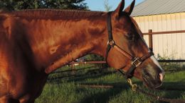 Sorrel Quarter Horse in Bois D'arc, MO