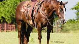 Chestnut Quarter Horse in Billings, MT