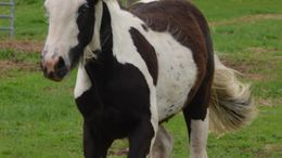 Black Gypsy Vanner in Laona, WI