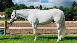 White Quarter Horse in Independence, WV