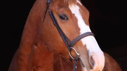 Chestnut Quarter Horse in Gainesville, GA