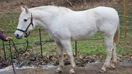 White Quarter Horse in Elkview, WV