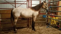Buckskin Quarter Horse in Sioux city, IA