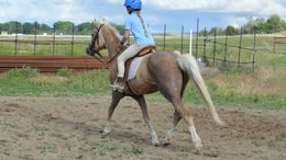 Palomino Welsh Pony in Fruitland, ID