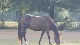 Bay Quarter Horse in WILLS POINT, TX