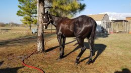 Black Thoroughbred in Cogar, OK