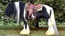 Pinto Gypsy Vanner in Buffalo, MO