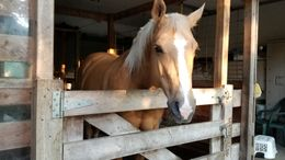 Brown Palomino in Stoughton, WI
