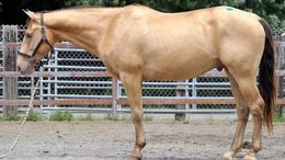 Champagne Quarter Horse in Perrineville, NJ