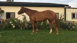 Chestnut Quarter Horse in LaGrange, KY