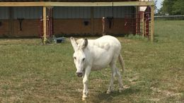 White Donkey in North Zulch, TX