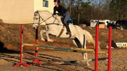 Grey Irish Sport Horse in Aiken, SC