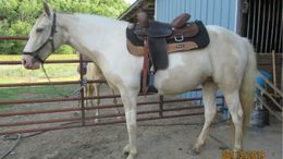 Champagne Tennessee Walker in COLUMBIA, KY