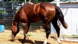 Chestnut Quarter Horse in Kennewick, WA