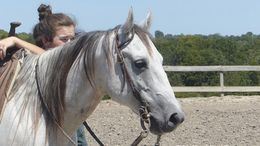 Grey Quarter Horse in Kansas city, MO