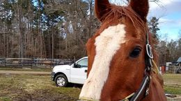 Chestnut Quarter Horse in Denton, NC