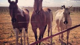 Bay Quarter Horse in Lubbock, TX