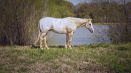 Palomino Appaloosa in Big Arm, MT