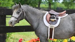 Grey Welsh Pony in Warrenton, VA