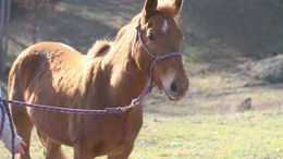 Chestnut Quarter Horse in Charleston, WV