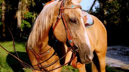 Palomino Quarter Horse in Bryceville, FL