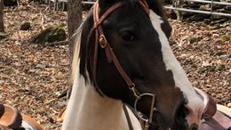 Pinto Quarter Horse in Greenville, NY