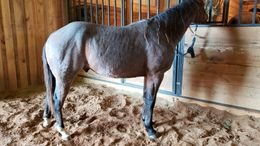 Roan Quarter Horse in Courtland, AL