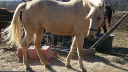 Palomino Tennessee Walker in College Station, TX