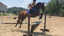 Bay Belgian Warmblood in Aiken, SC