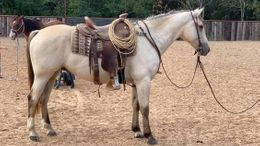 Buckskin Quarter Horse in Indianapolis, IN