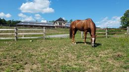 Chestnut Quarter Horse in Harwinton, CT