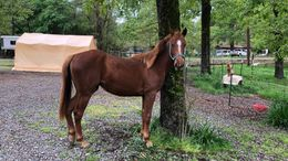 Sorrel Thoroughbred in Frierson, LA