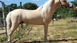 Palomino Miniature in Lakeport, CA