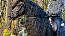 Black Friesian in Fairfax, CA