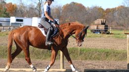 Chestnut Thoroughbred in Nunda, NY