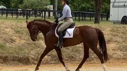 Chestnut Dutch Warmblood in Aiken, SC