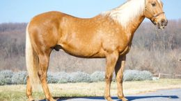 Palomino Quarter Horse in Albuquerque, NM