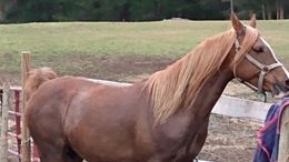 Chestnut Arabian in denton, NC