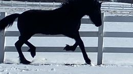 Black Friesian in Nora Springs, IA