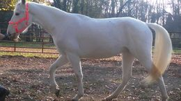 White Tennessee Walker in Huber Heights, OH