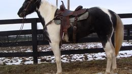 Roan Paint (Tobiano) in Flemingsburg, KY
