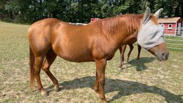 Chestnut Quarter Horse in Stratham, NH