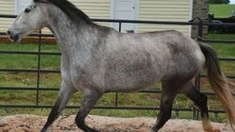 Grey Andalusian in Manchester	Hillsborough, NH