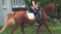 Chestnut Arabian Sporthorse in Middletown, MD