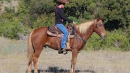 Sorrel Quarter Horse in Gilbert, AZ
