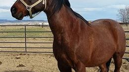 Brown Quarter Horse in Silver Springs, NV